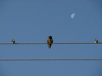 Birds Lovemaking upon the Moon