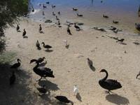 black & white swan