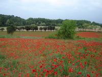 Fields of poppy