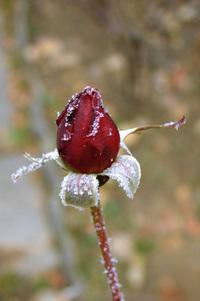 Frosty rose 2