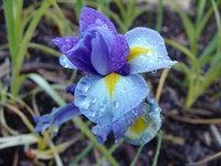 Iris Close Up