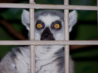 Caged Lemur