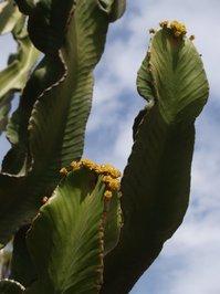 Cactus Pride