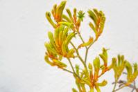 Kangaroo paw flower 3
