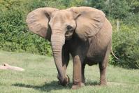 Elephants at the Nashville Zoo 3