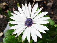 White Star-shaped daisies