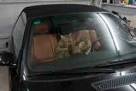 Bengal Cats exploring a Car