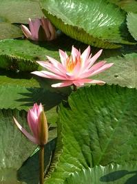 Lotus Garden #2