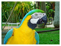 The Blue Perrot