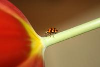 Ladybird on Tulip 2