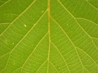 back of a leaf in detail