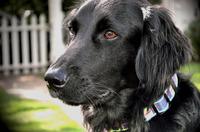 black retreiver dog