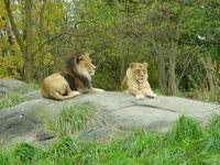 Wildlife - Lions