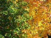 Autumn : Acer