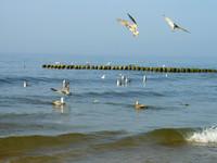 baltic seagulls 1