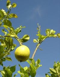 Lemon tree (very ripe ones) 1