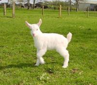 Uhu the goat