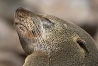 Fur seal 3