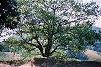 Spanish Tree