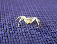 White Mutant Spider