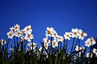 Poets Daffodil