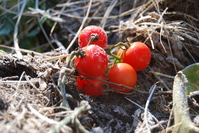 Tomato First Frost