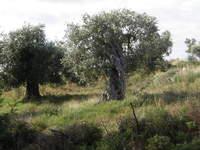 400 y.o. olive tree
