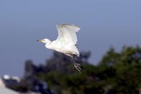a white heron 1