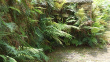 footpath ferns 3