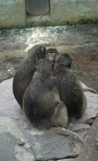 Sitting Apes 1