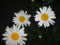 Dark Daisy RETURNS