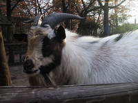 goat nr1