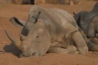 Rhinoceros 20