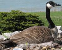 Goose. 1