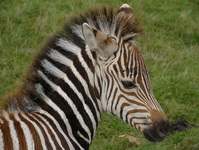 Baby Zebra ( 7 days )