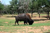 Texas Buffalo
