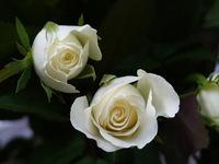 2 White rose