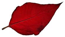 Poinsettia Leaf 2