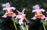 Orchids (SINGAPORE BOTANIC GAR