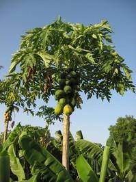 Papaya tree 2