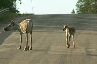 Two Rein deers