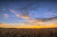 Ripe Cornfield at Sunset