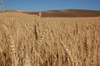 Wheat Fields III