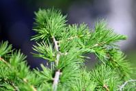 Larch tree detail