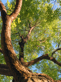 honey locust tree 01