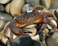 Crab on stone