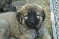 kars shepherd 2