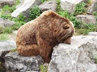 kodiac bear in zoo