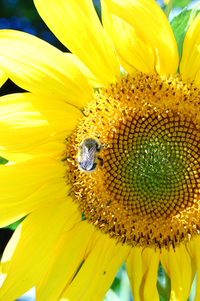 Sunflowers and bees 2