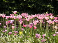 Tulipan Britzer Garten Berlin 2007